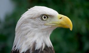 American eagle - Pete Markham 300x180