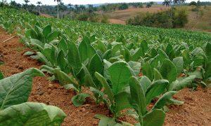 tobacco-plant-arnoud-joris-maaswinkel-900x540