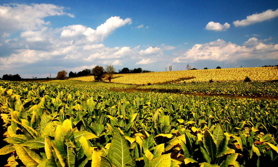 A tobacco field in Kentucky